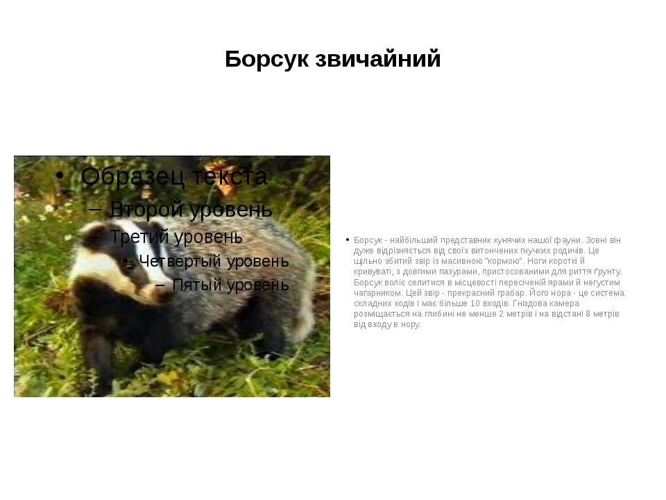 Борсук звичайний Борсук - найбільший представник кунячих нашої фауни. Зовні в...