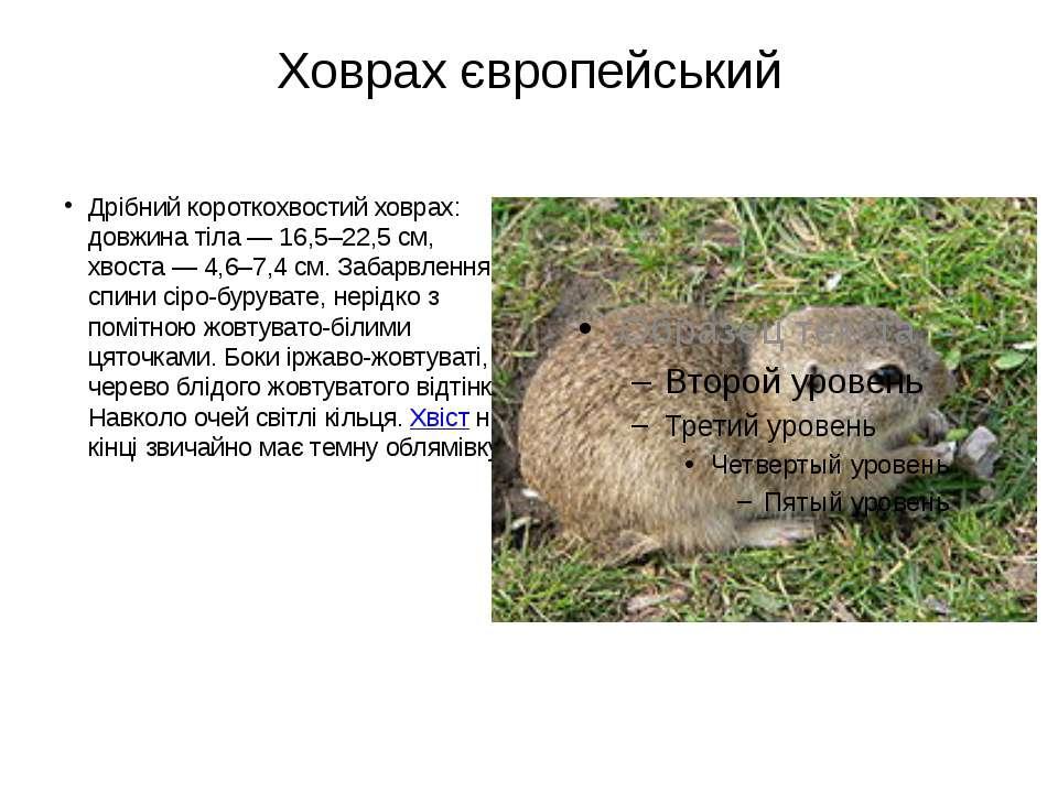 Ховрах європейський Дрібний короткохвостий ховрах: довжина тіла — 16,5–22,5 с...