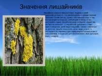 Значення лишайників Лишайники широко використовує людина в своїй господарські...