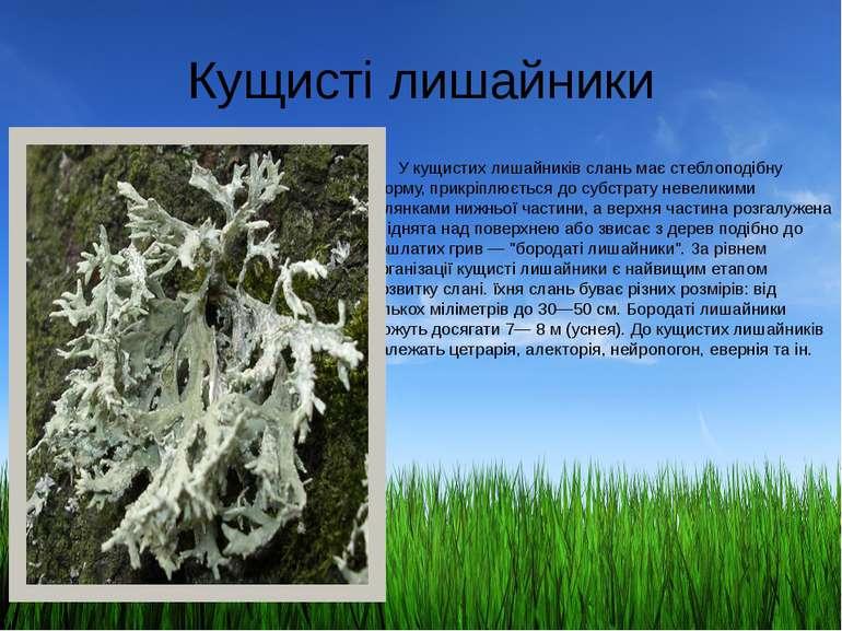 Кущисті лишайники У кущистих лишайників слань має стеблоподібну форму, прикрі...