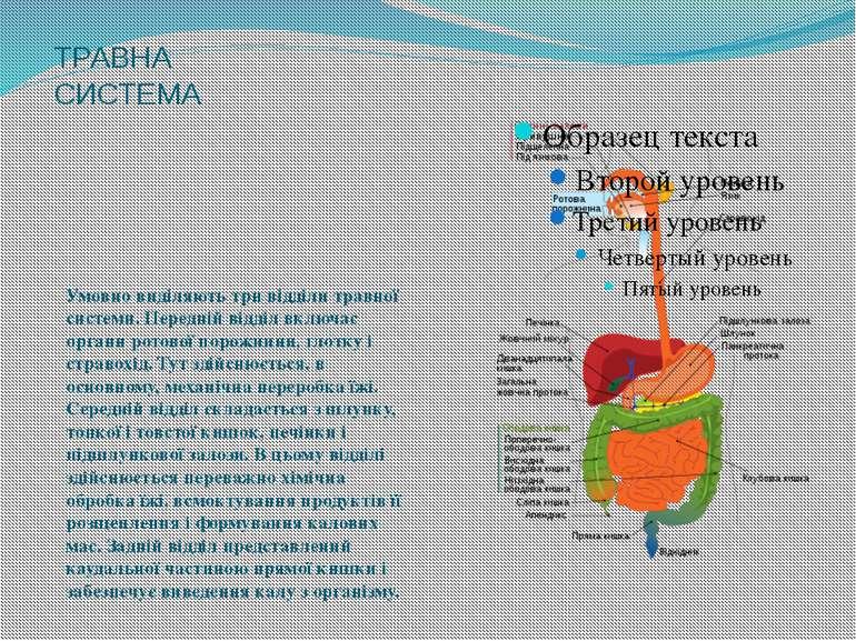 ТРАВНА СИСТЕМА Умовно виділяють три відділи травної системи. Передній відділ ...