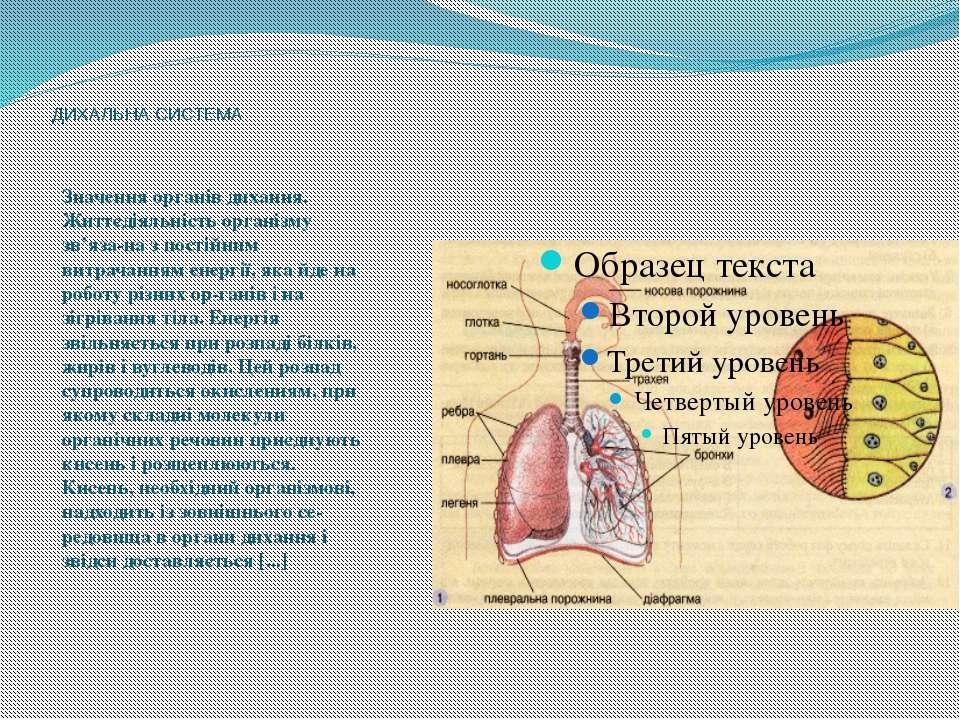 ДИХАЛЬНА СИСТЕМА Значення органів дихання. Життєдіяльність організму зв'яза н...