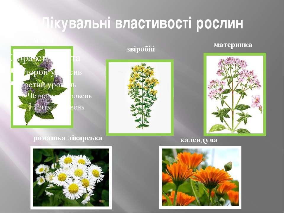 Лікувальні властивості рослин м'ята звіробій материнка ромашка лікарська кале...