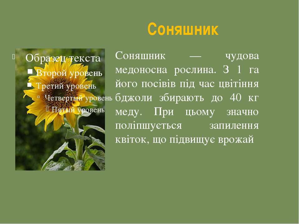 Соняшник Соняшник — чудова медоносна рослина. З 1 га його посівів під час цві...