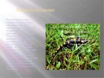 Морфологічні ознаки Тіло інтенсивно-чорне з жовтими плямами, черево однотонно...