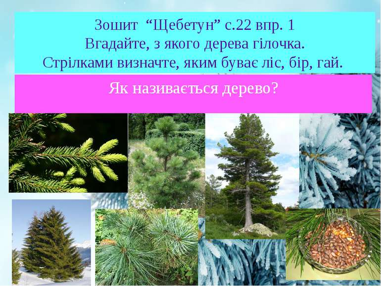"Зошит ""Щебетун"" с.22 впр. 1 Вгадайте, з якого дерева гілочка. Стрілками визна..."