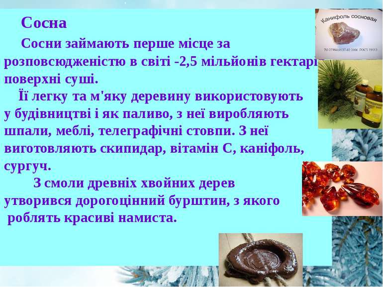 Сосна Сосни займають перше місце за розповсюдженістю в світі -2,5 мільйонів г...