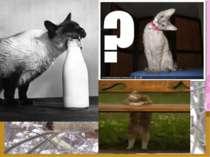 А чи знаєте ви? Здавна кішки вважаються лікувальними тваринами. Своїм виглядо...