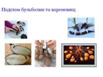 Поділом бульболин та кореневищ