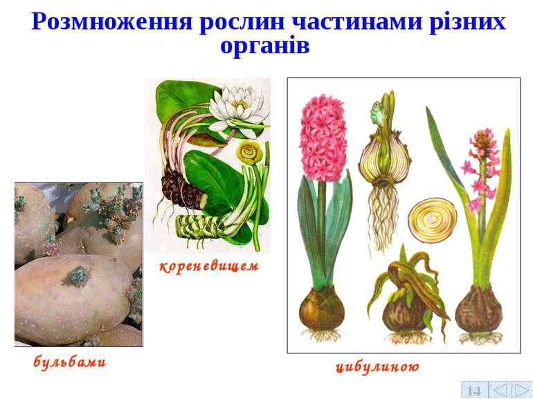 Розмноження рослин частинами різних органів бульбами кореневищем цибулиною 14