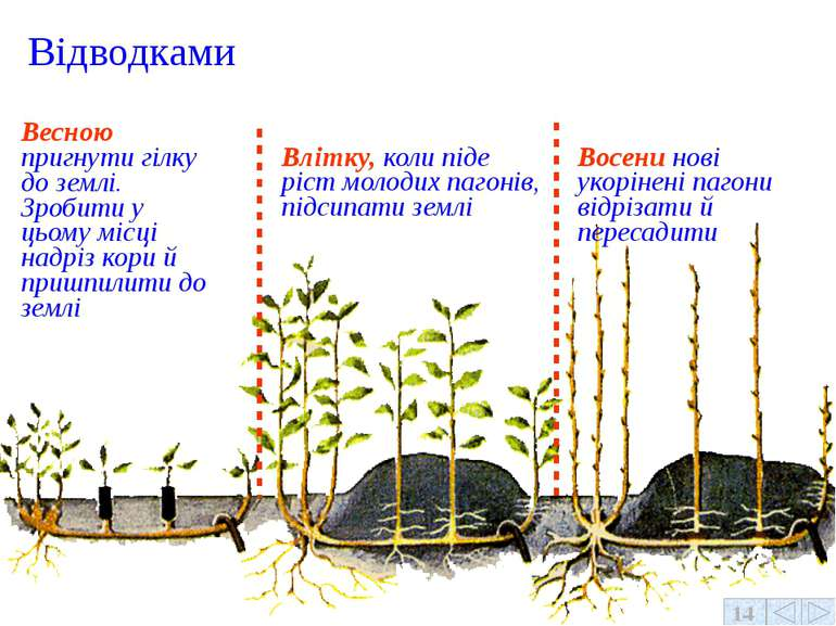 Весною пригнути гілку до землі. Зробити у цьому місці надріз кори й пришпилит...
