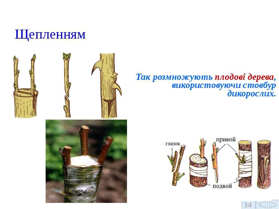Щепленням Так розмножують плодові дерева, використовуючи стовбур дикорослих. 14