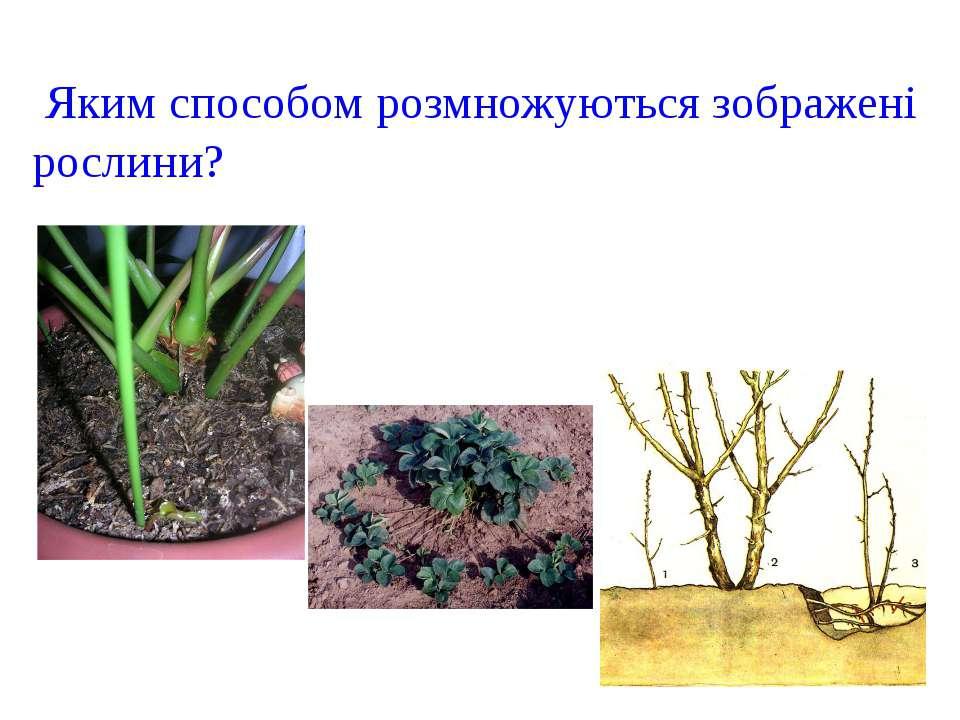 Яким способом розмножуються зображені рослини?