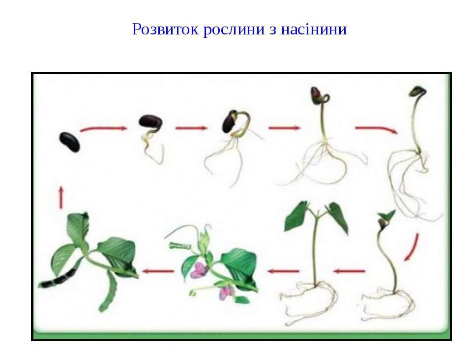 Розвиток рослини з насінини