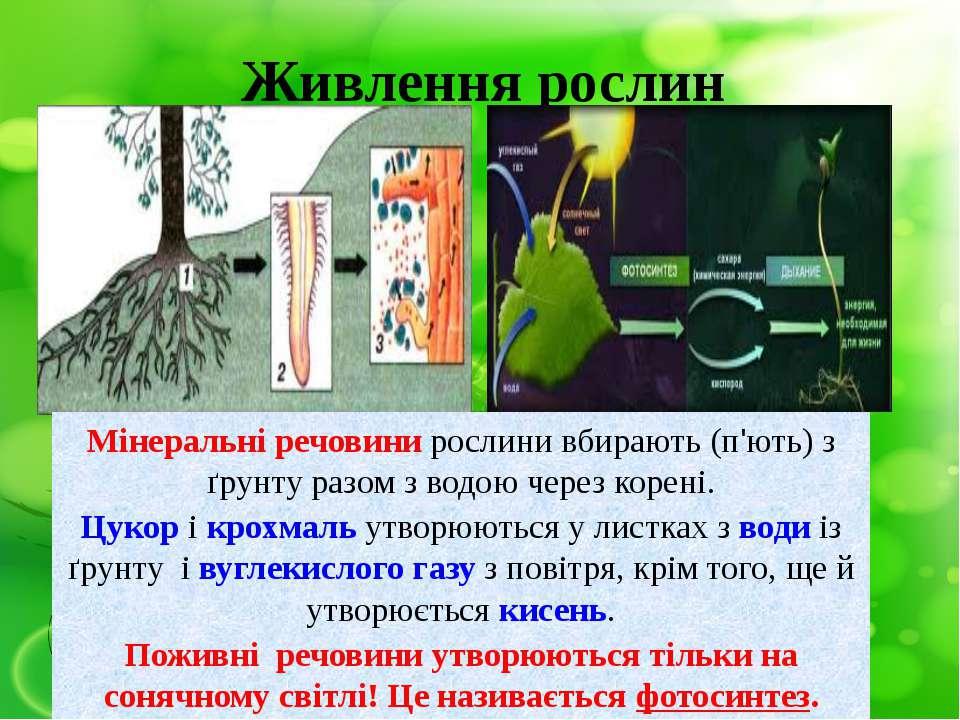 Живлення рослин Мінеральні речовини рослини вбирають (п'ють) з ґрунту разом з...