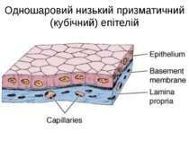 Одношаровий низький призматичний (кубічний) епітелій