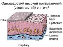 Одношаровий високий призматичний (стовпчастий) епітелій