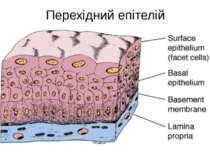 Перехідний епітелій