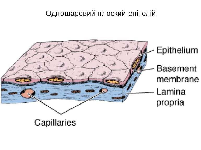 Одношаровий плоский епітелій