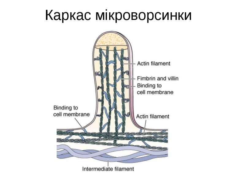 Каркас мікроворсинки