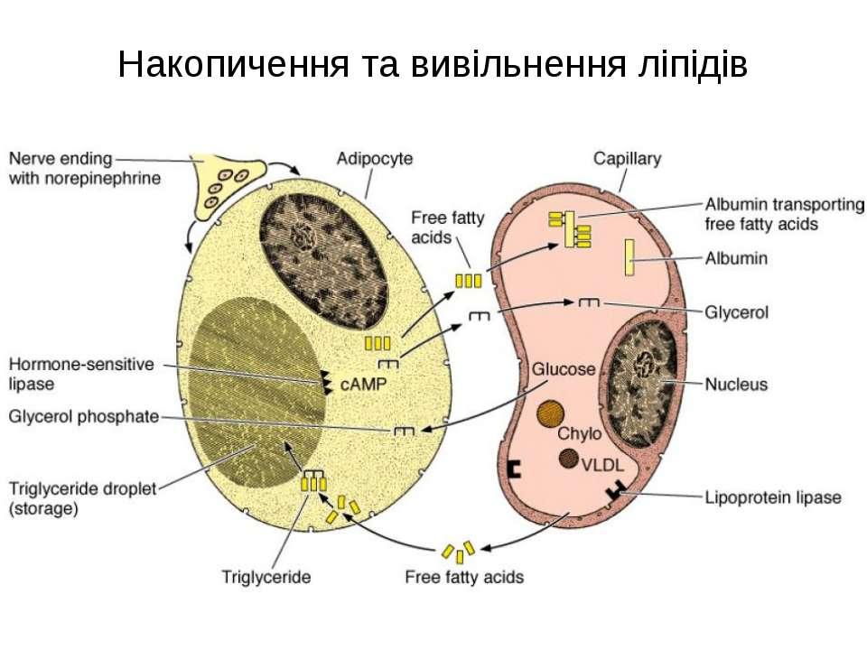 Накопичення та вивільнення ліпідів