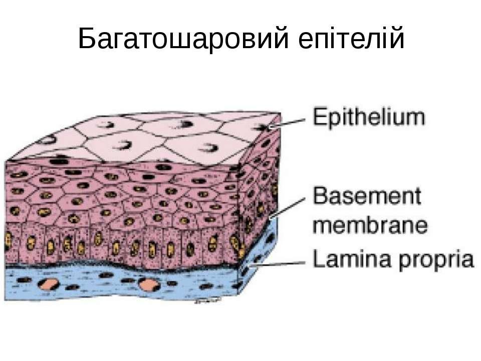 Багатошаровий епітелій