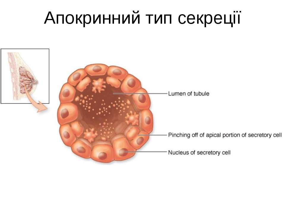 Апокринний тип секреції
