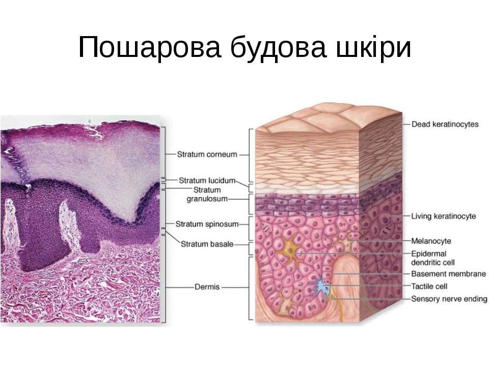 Пошарова будова шкіри
