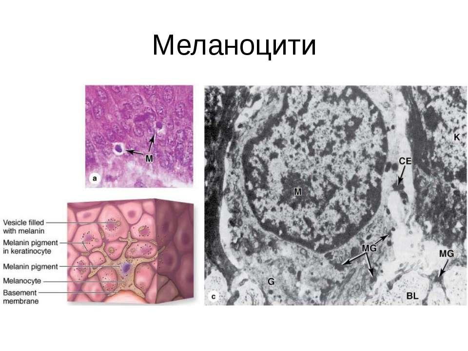 Меланоцити