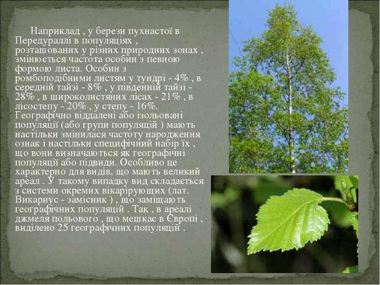 Наприклад , у берези пухнастої в Передураллі в популяціях , розташованих у рі...