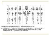 Вікові стани костриці лучної (А), волошки сибірської (Б): р–проростки;j – ю...