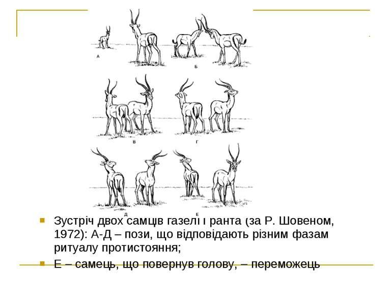 Зустріч двох самців газелі Гранта (за Р. Шовеном, 1972): А-Д – пози, що відпо...