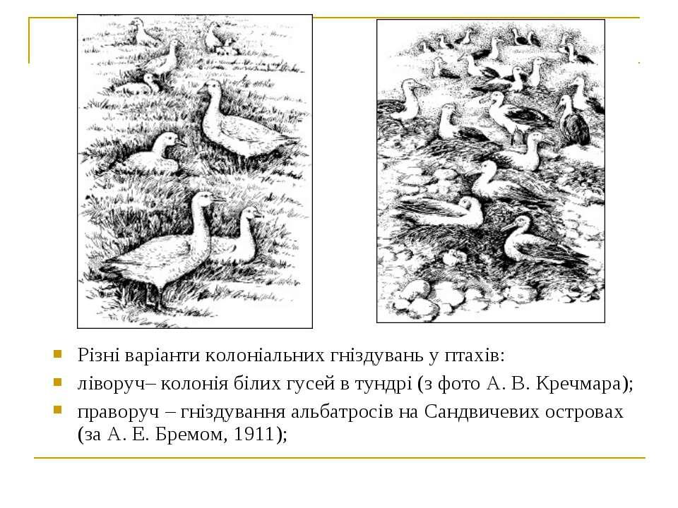 Різні варіанти колоніальних гніздувань у птахів: ліворуч– колонія білих гусей...
