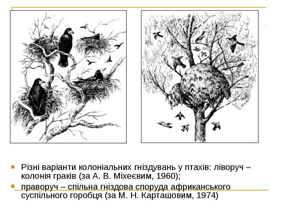 Різні варіанти колоніальних гніздувань у птахів: ліворуч – колонія граків (за...