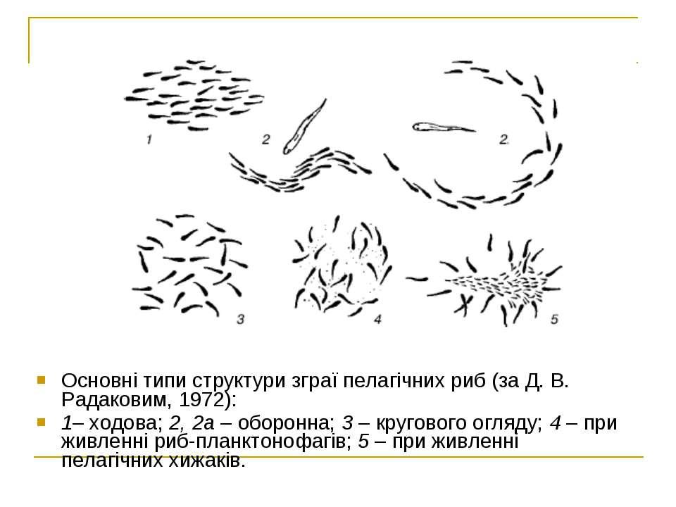 Основні типи структури зграї пелагічних риб (за Д. В. Радаковим, 1972): 1–хо...