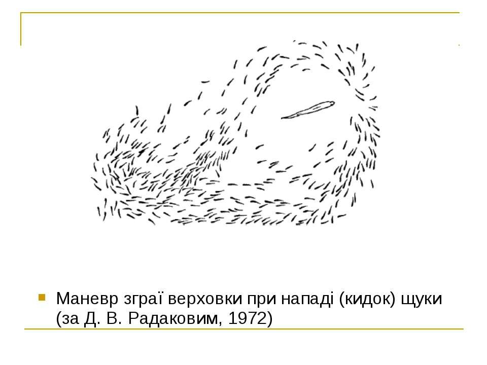 Маневр зграї верховки при нападі (кидок) щуки (за Д. В. Радаковим, 1972)