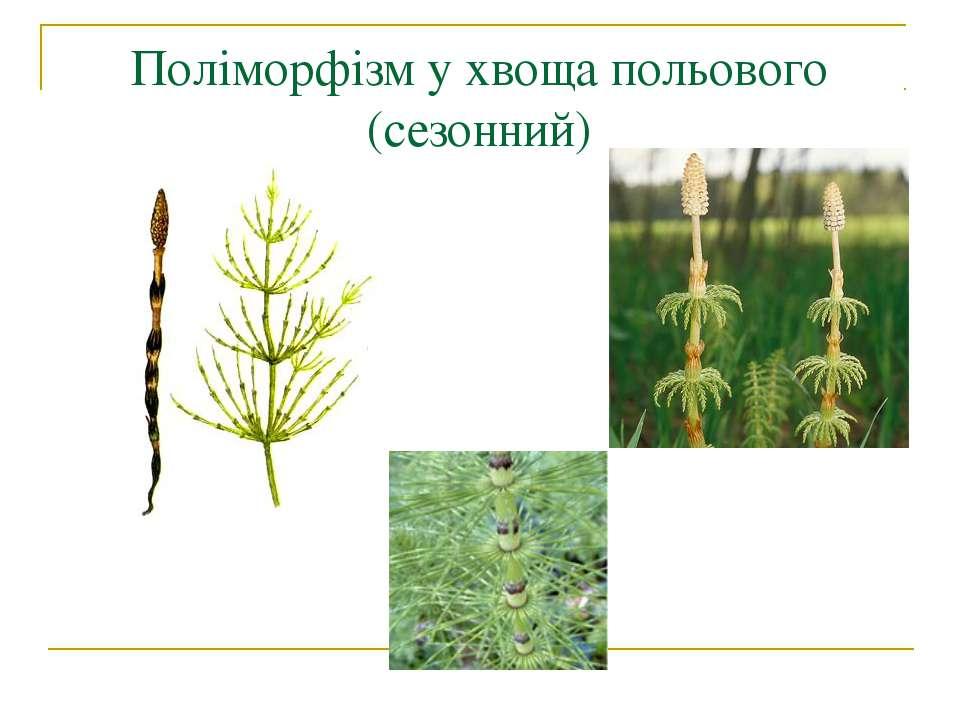 Поліморфізм у хвоща польового (сезонний)