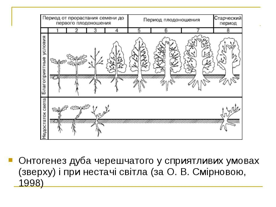 Онтогенез дуба черешчатого у сприятливих умовах (зверху) і при нестачі світла...