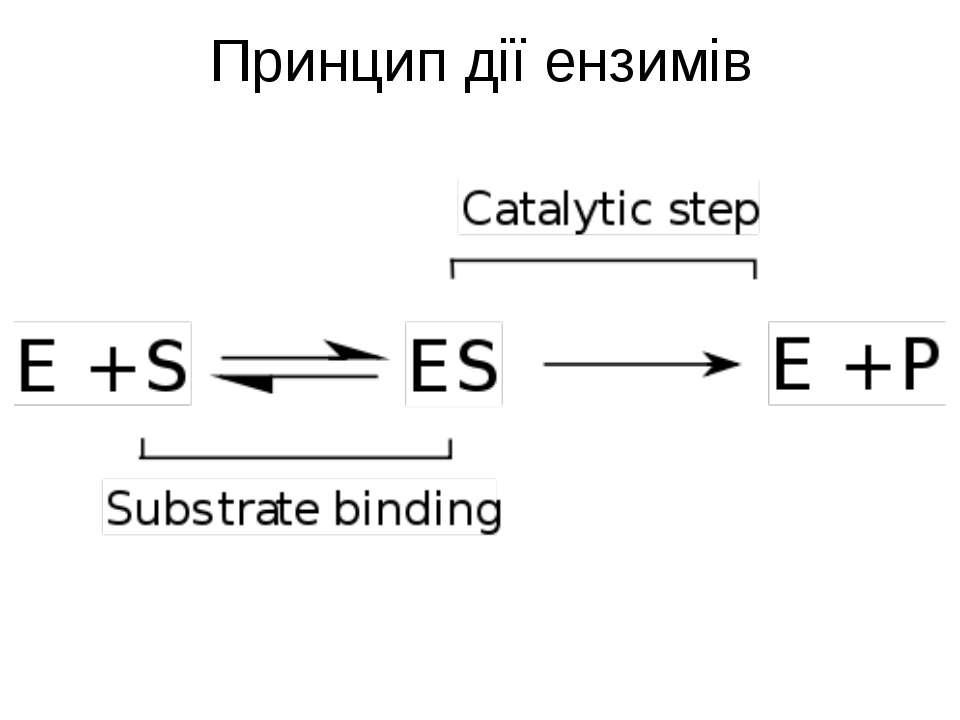 Принцип дії ензимів