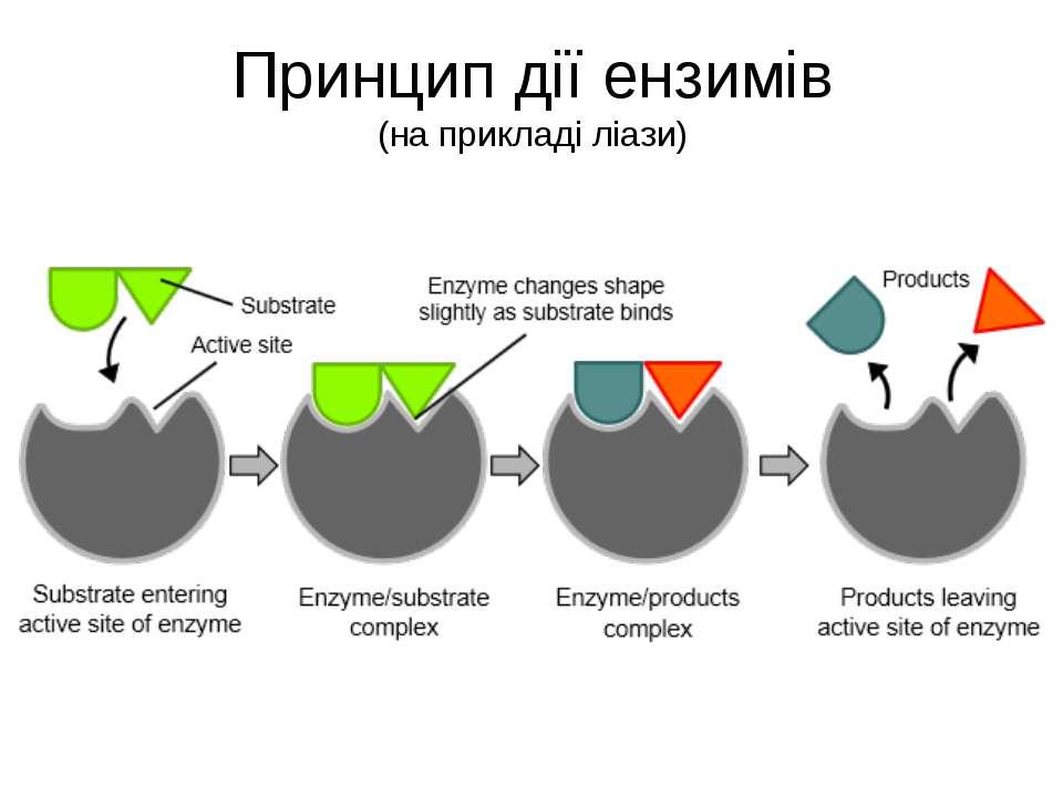 Принцип дії ензимів (на прикладі ліази)