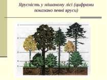 Ярусність у мішаному лісі (цифрами показано певні яруси)