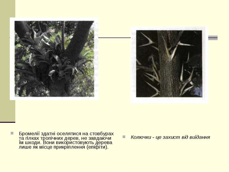 Бромелії здатні оселятися на стовбурах та гілках тропічних дерев, не завдаючи...