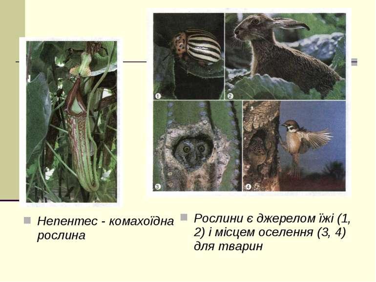 Непентес - комахоїдна рослина Рослини є джерелом їжі (1, 2) і місцем оселення...