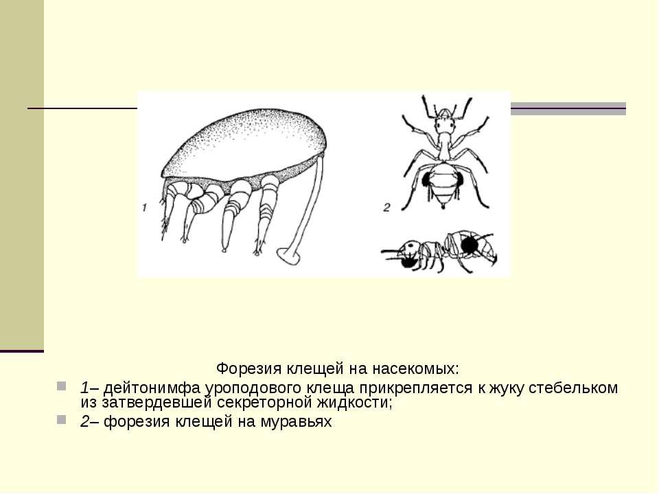 Форезия клещей на насекомых: 1–дейтонимфа уроподового клеща прикрепляется к ...
