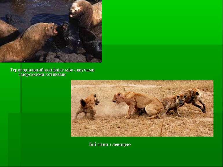 Бій гієни з левицею Територіальний конфлікт між сивучами і морськими котиками
