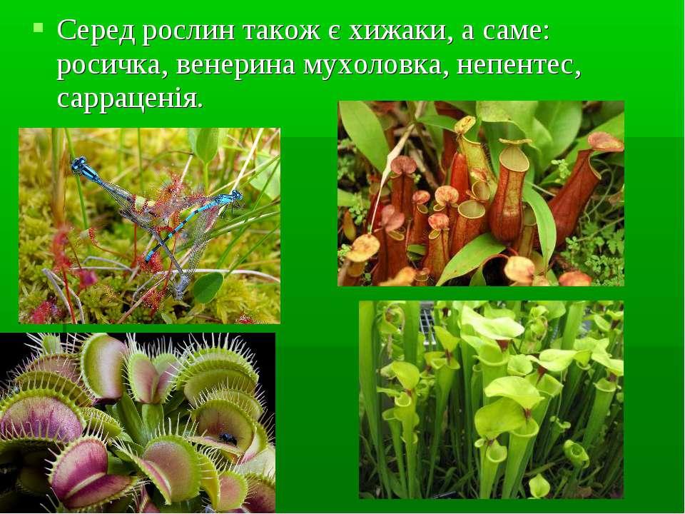 Серед рослин також є хижаки, а саме: росичка, венерина мухоловка, непентес, с...