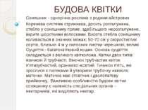 БУДОВА КВІТКИ Соняшник - однорічна рослина з родини айстрових Коренева систем...