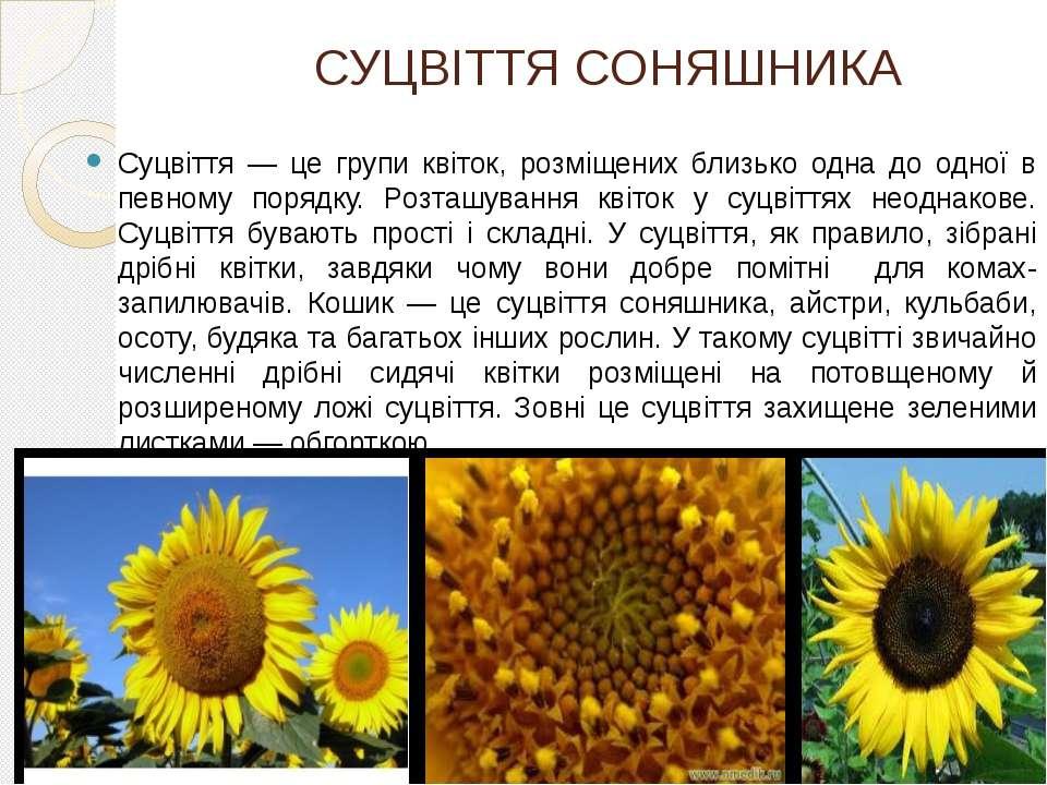 СУЦВІТТЯ СОНЯШНИКА Суцвіття — це групи квіток, розміщених близько одна до одн...