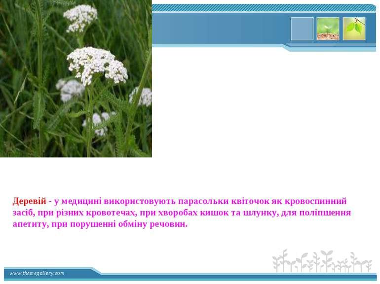 Деревій - у медицині використовують парасольки квіточок як кровоспинний засіб...