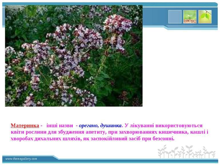 Материнка - інші назви - орегано, душинка. У лікуванні використовуються квіти...